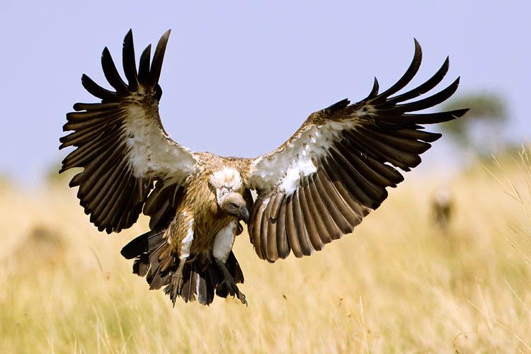 eurasian ruppells griffon vulture pictures