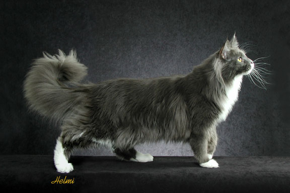 The Maine Coon Cat By Helmi Flick The Nature Wildlife