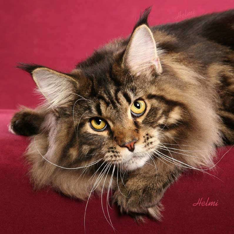 The Maine Coon cat