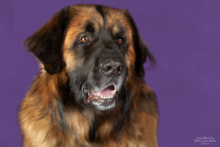 Westminster Dog Show 2015 - The Nature, Wildlife and Pet ...